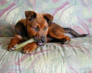 Dog chewing nylabone