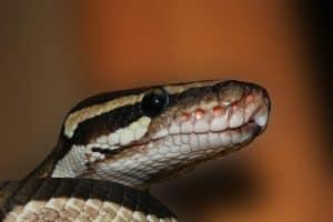 ball python head