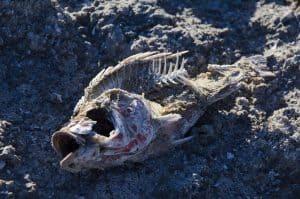 old fish bones