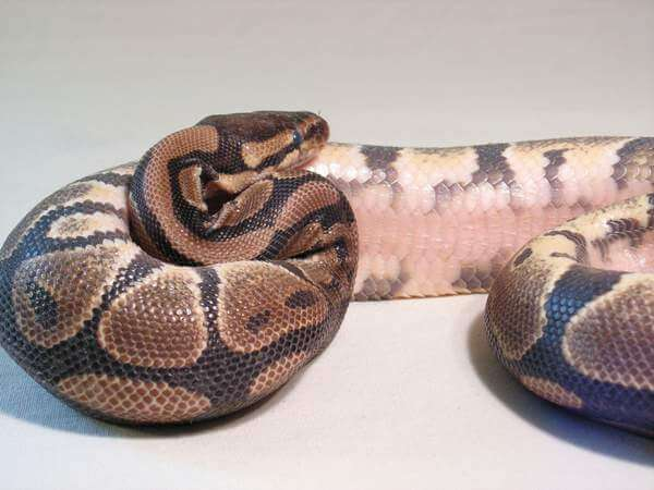pink bellied ball python