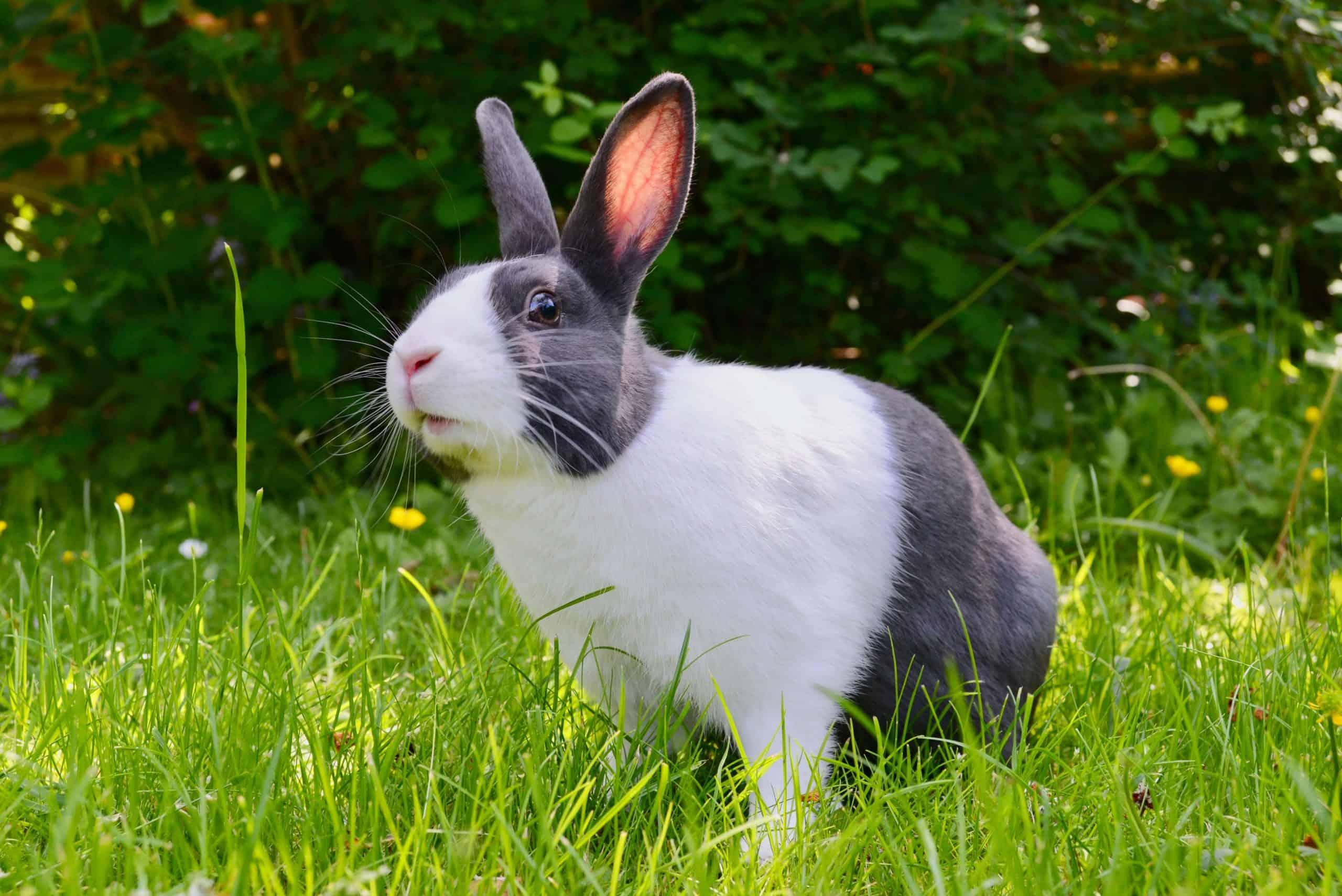 white and grey rabbit