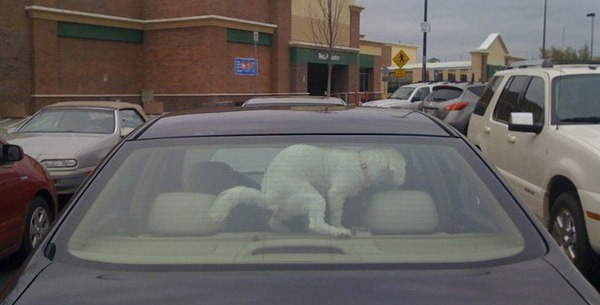 dog poops in car