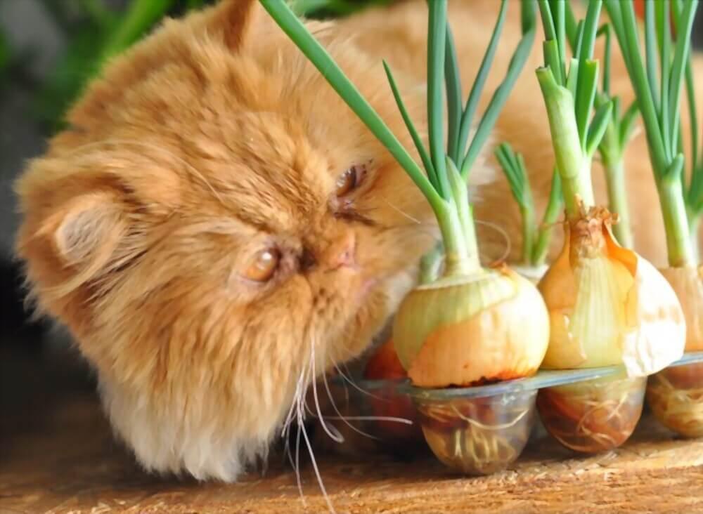 cat ate onion