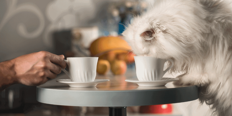 Is it Safe for Cats to Drink Coffee