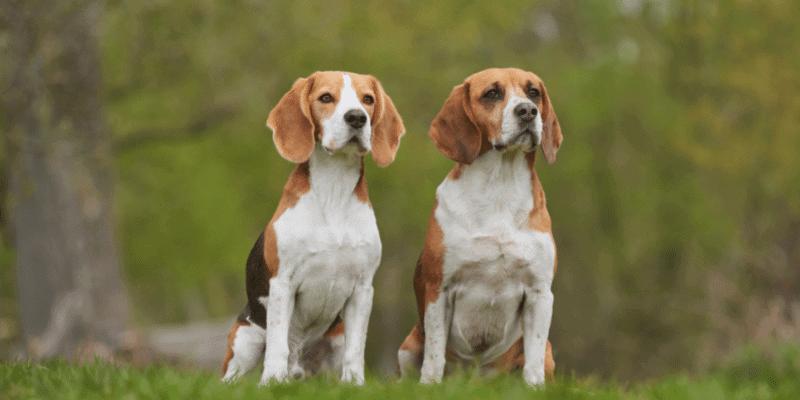 Are Beagles Hypoallergenic