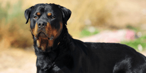 Are Rottweilers Hypoallergenic - All You Need to Know!