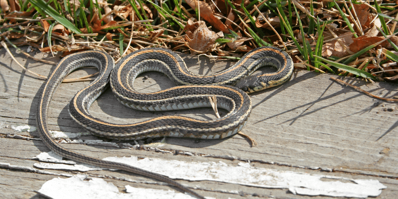 Are garter snakes good pets