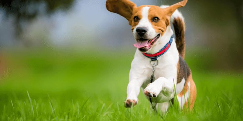 Beagles Intelligence - Are Beagles Smart