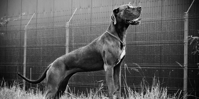 Buying Great Danes – What to Keep in Mind