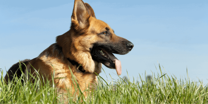 Can German Shepherd Live in an Apartment (Do's & Dont's)
