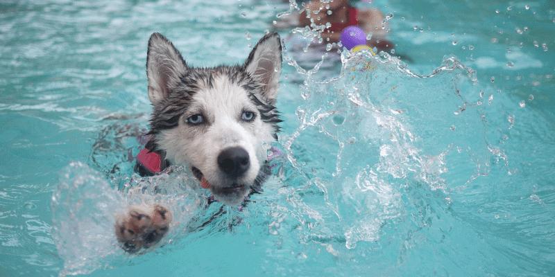 Can Huskies Swim (or Like to Swim)