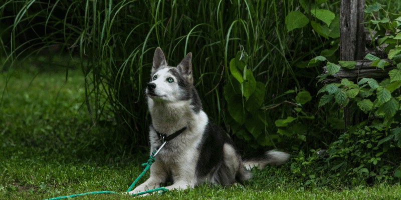 Can a Husky Live Outdoors
