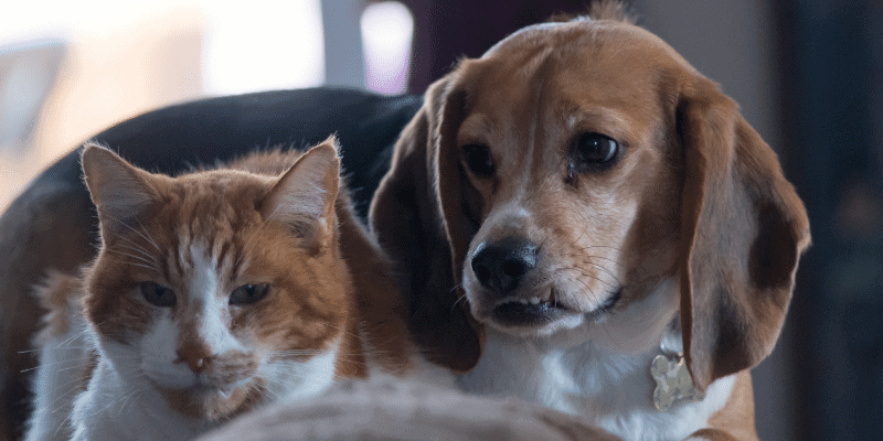 Do Beagles Get Along with Cats
