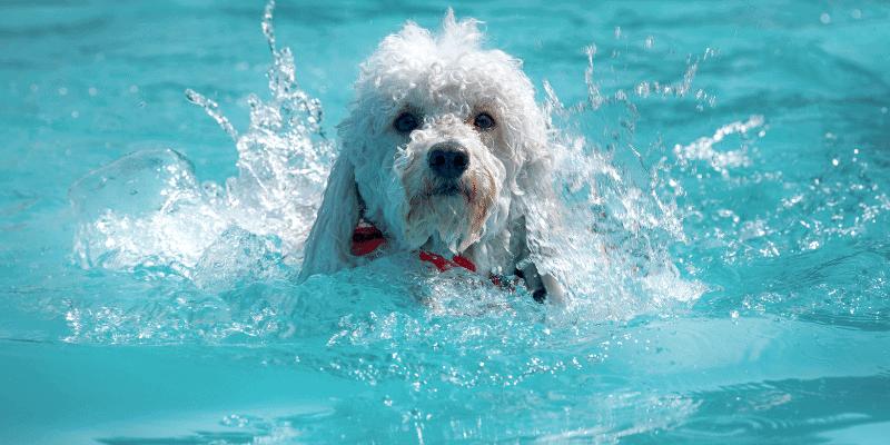 Do Poodles Like to Swim