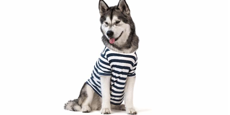 Husky Intelligence — Are Huskies Smart or Dumb