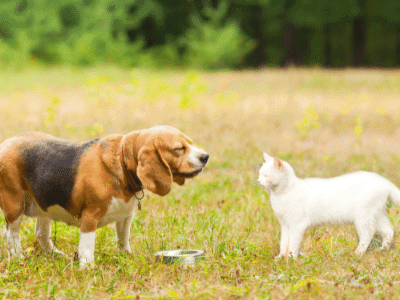 Introducing Your Beagle and Cat to Each Other