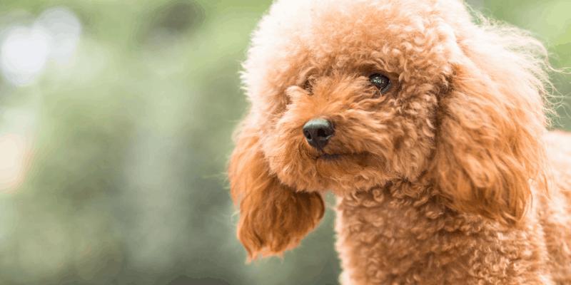 Poodle Intelligence - Are Poodles Smart or Dumb