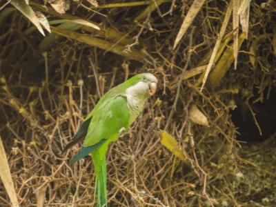 Quaker Parakeets