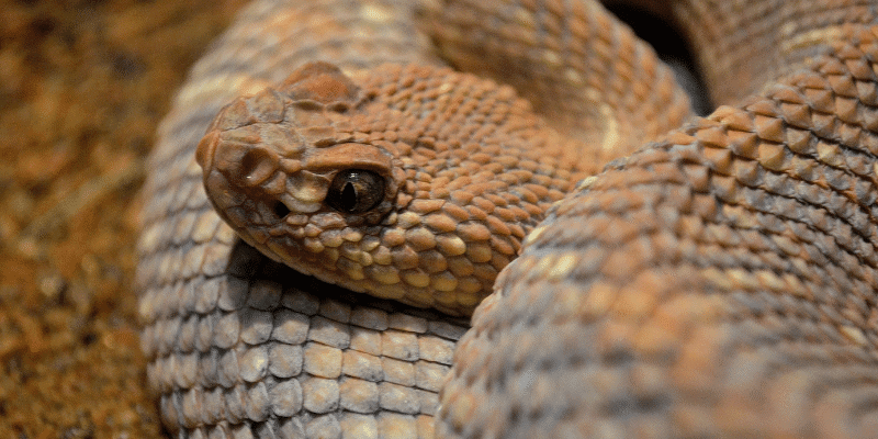Scale Rot in Pet Snakes
