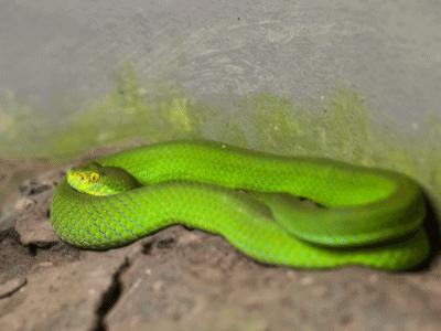 White-lipped Snakes