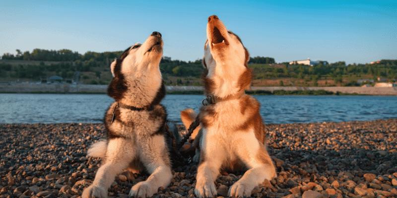 Why Do Huskies Cry