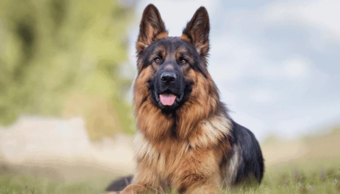 Are German Shepherd Hypoallergenic