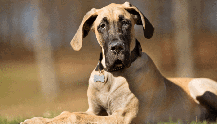Can a Great Dane Live In an Apartment