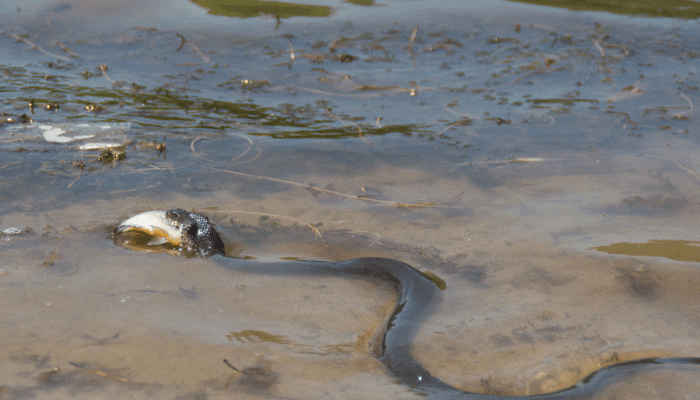 What Pet Snakes Can Eat Fish