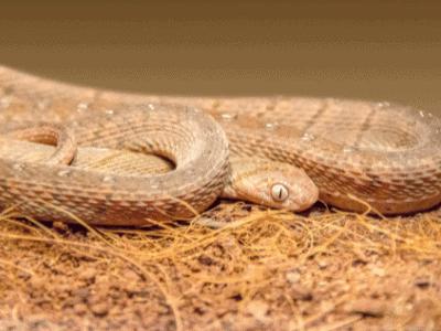 African Egg-Eating Snake