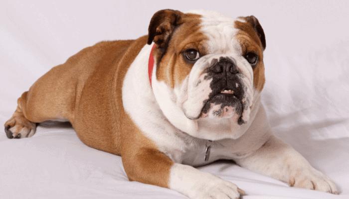 Are English Bulldogs High Maintenance Pets