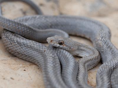 Baird's Rat Snake