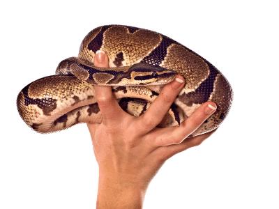 Ball Python in Hand