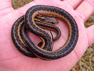 Garter Snake in Hand