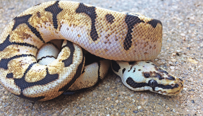 Interesting Facts About the Bumblebee Ball Python