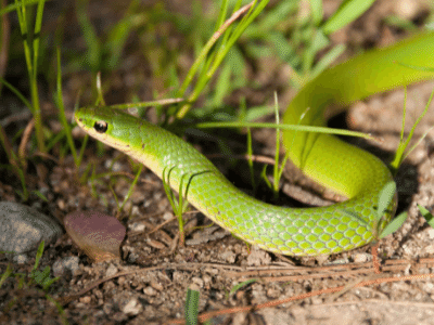 Smooth Green Snakes