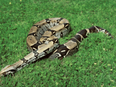 Tarahumara (Mexican) Boa Constrictor